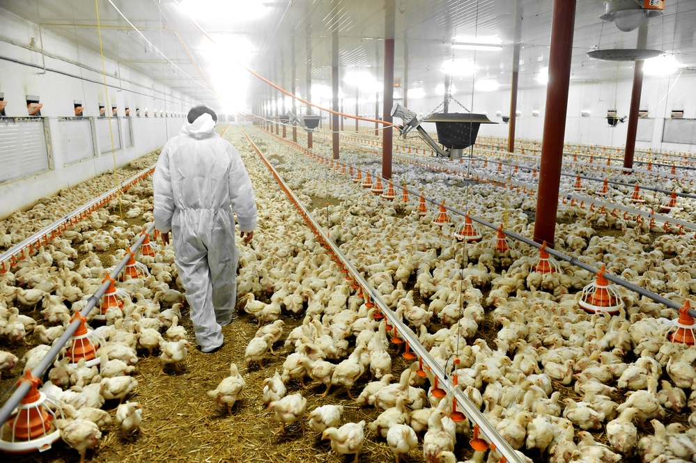Chicken Factory Farm