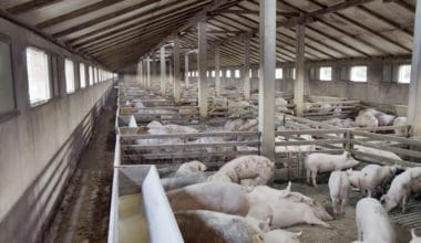 What Happens to Pigs in Factory Farms