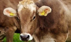 Why Are Cows Bad for the Environment