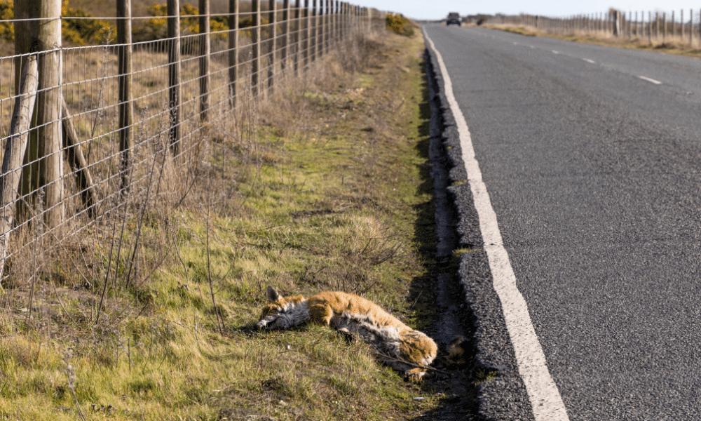 Whole Fox Roadkill